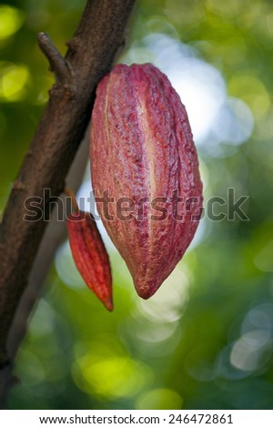 Cacao pod on tree (theobroma cacao) - stage of ripening . - stock photo