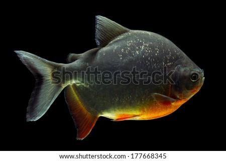Cachama or Pacu fish isolated on black, side view, studio aquarium shot - stock photo