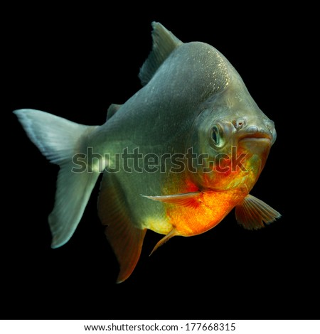 CACHAMA OR TAMBAQUI FISH PROFILE ISOLATED ON BLACK, STUDIO AQUARIUM SHOT   - stock photo