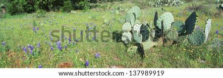 Cacti and wildflowers, Texas - stock photo