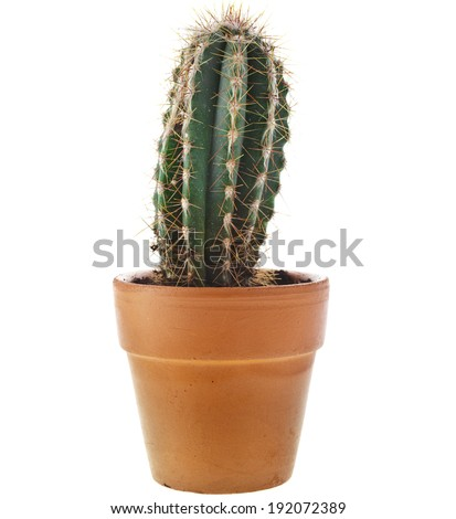 cacti cactus plant in flower pot isolated on white background - stock photo