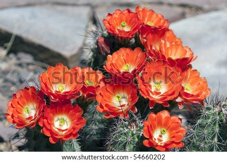Cacti flowers in full bloom - stock photo