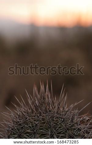 Cactus at dusk in Tucson, Arizona - stock photo