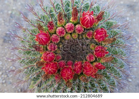 Cactus blooms in the Sonoran desert in southern Arizona - stock photo