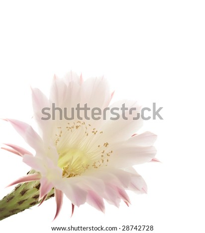 Cactus blooms isolated on white background