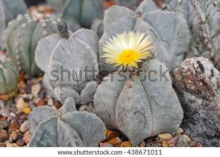 Cactus blooms yellow flowers - stock photo