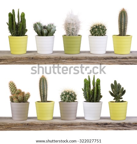 Cactus collection  on wooden shelves isolated on white - stock photo