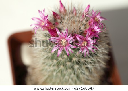 Cactus during spring flowering pink flowers stock photo royalty cactus during spring flowering pink flowers on a background of thorns mightylinksfo