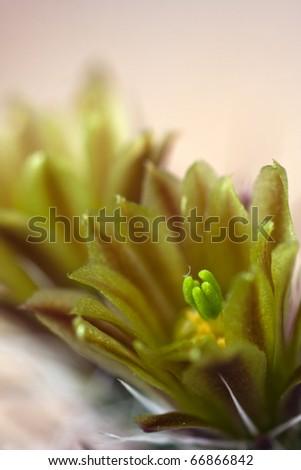 cactus (Echinocereus davisii) in bloom - stock photo
