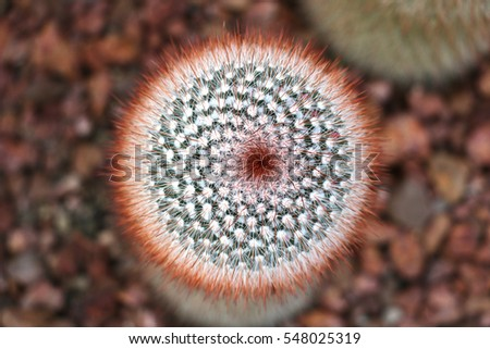 Cactus Family, pink-red flowers of barrel cactus, close-up barrel cactus