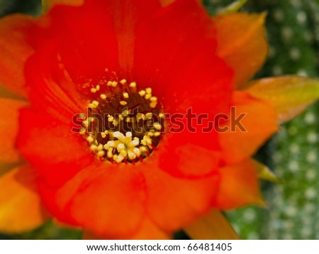 Cactus Flower Macro with Vivid Texture and Color; Great for Desert Backgrounds - stock photo