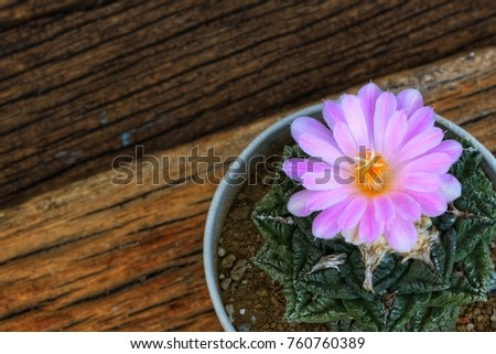 Cactus flower on old wood.