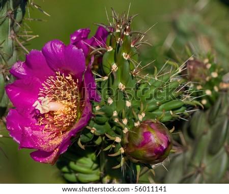 cactus flower Opuntia Lindheimeri - stock photo