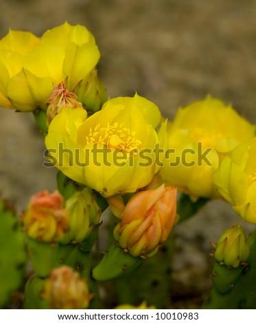 cactus flowers - stock photo