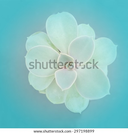 Cactus flowers on blue background , soft focus - stock photo