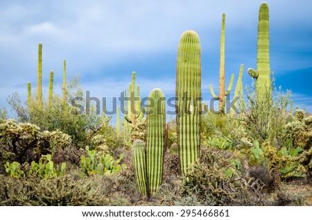 Cactus Garden at Saguaro National Park - stock photo