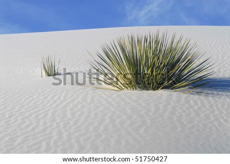Cactus growing in the White Sand Dunes National Park in New Mexico - stock photo