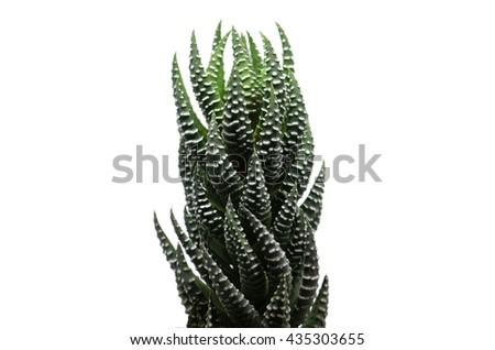 Cactus: Haworthia Fasciata , succulent plant on white background - stock photo