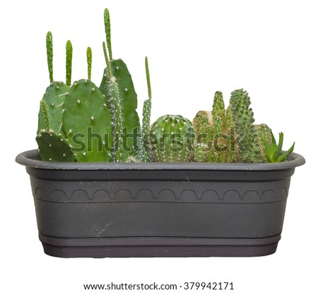 Cactus in a pot with long spikes - stock photo