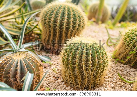 cactus in desert.domestic cactus closeup. - stock photo