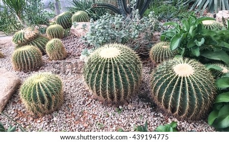cactus in desert. Nature green background or wallpaper: domestic cactus closeup. Cactus planted in a botanical garden. filter effect. - stock photo