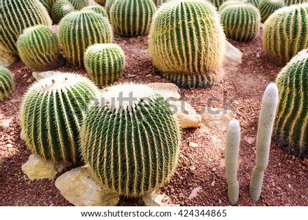cactus in green house