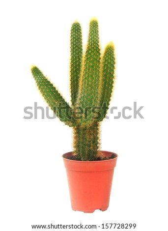 cactus in pot isolated white background - stock photo