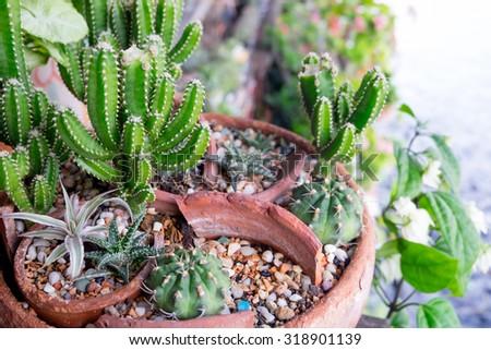 Cactus in Pots / Pot Cactus / Cactus - stock photo