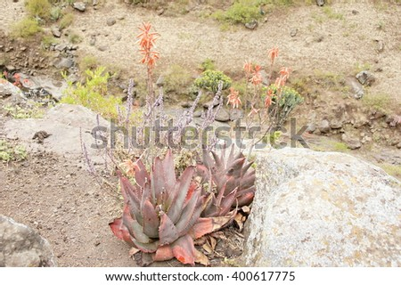 Cactus in Simien mountains, Ethiopia - stock photo