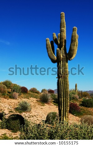 Cactus in the dry Arizona desert