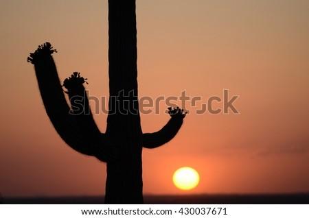 Cactus in the Setting Sun - stock photo
