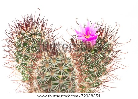 Cactus pink flower on white isolated - stock photo
