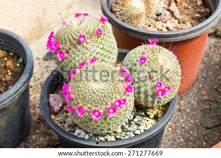 Cactus plant in flowerpot, Pink cactus flower, Small Cactus  - stock photo