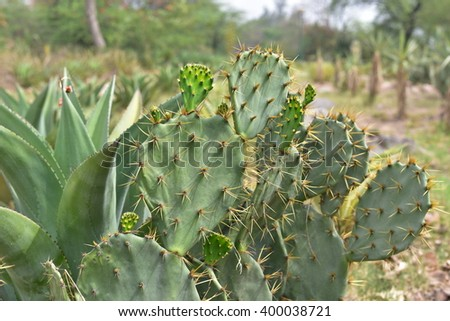 Cactus plant, Prickly pear cactus close up, cactus spines, Bunny Ears cactus or Opuntia Microdasys - stock photo