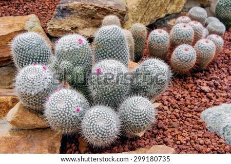 Cactus planted in a botanical garden. - stock photo