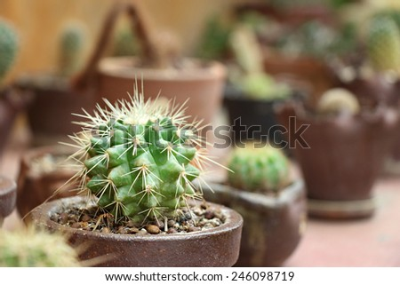 Cactus planting in pot - stock photo