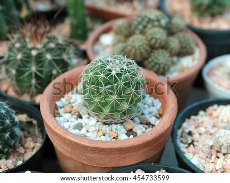 Cactus succulent plant in flowerpot - stock photo