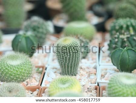 Cactus succulent plant in flowerpot ,Houseplant Concept. - stock photo