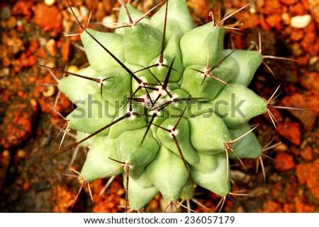 Cactus tree texture - stock photo