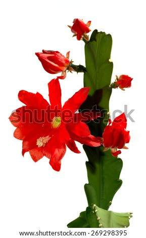 Cactus with red blossoms, Epiphyllum hybrid, isolated - stock photo