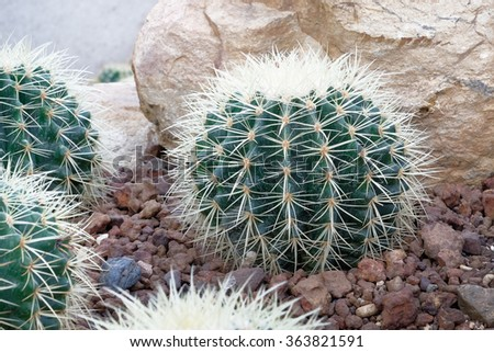 Cactus with sharp thorn - stock photo