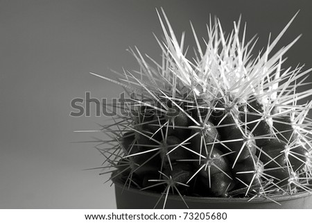 cactus with thorn, black and white photo - stock photo
