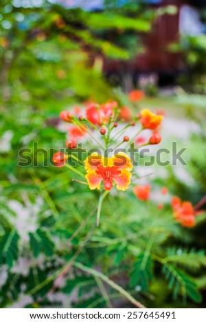 Caesalpinia is a genus of flowering plants in the legume family, Fabaceae. Membership within the genus is controversial, with different publications including anywhere from 70 to 165 specie. - stock photo