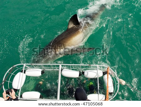 Cage divers face a Great White Shark - stock photo