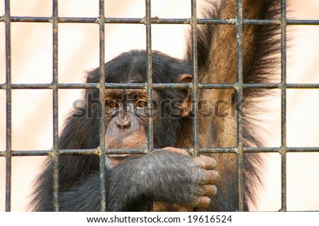 caged chimpanzee in local zoo - stock photo