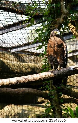Caged eagle - stock photo