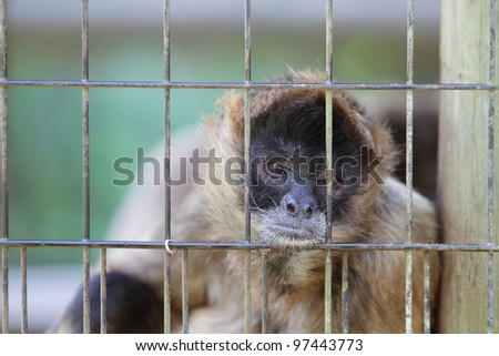 Caged Geoffroy's Spider Monkey (Ateles geoffroyi) - stock photo