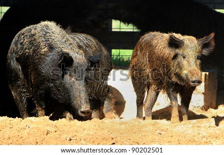 Caged wild hogs - stock photo