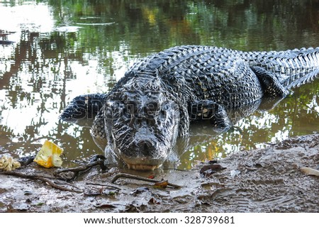 Caiman (Caimaninae) at Madidi National Park, Bolivia - stock photo