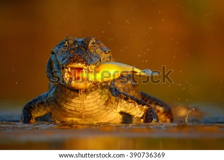 Caiman with evening orange sun, Yacare Caiman with fish in the muzzle, crocodile in the river surface, animal in the water, face to face, nature habitat, Pantanal, Brazil  - stock photo